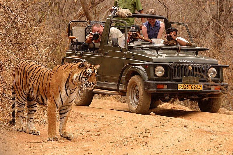 Tiger sighting at Ranthambore National Park